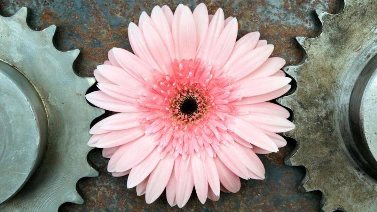 Un fragile fiore rosa interposto tra due ingranaggi rappresenta bene il disagio che accompagna l'endometriosi, patologia che la Nutrizionista Dott.ssa Paola Proietti Cesaretti può aiutare a superare by thewealthyspoon